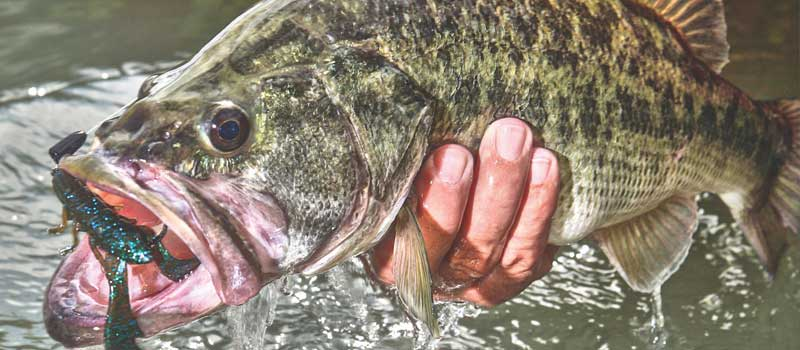 Bass fish with lure