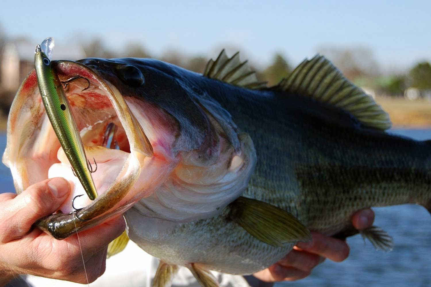 bass with lure