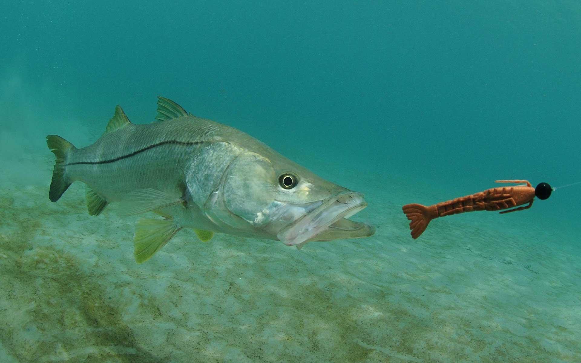 snook and lure