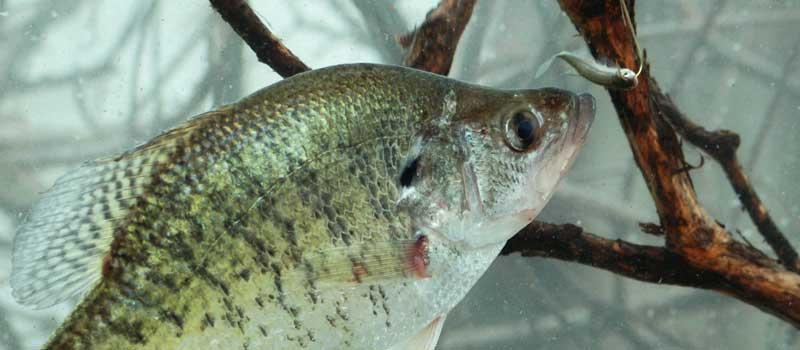 crappie on live fish